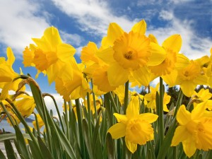 sunny_daffodils-normal